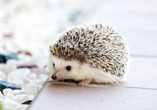 hedgehog-animal-baby-cute-50577
